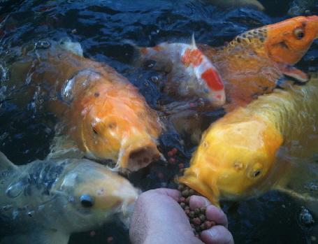 Gartenteich koi fische for Koi fische im gartenteich